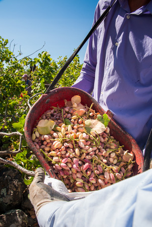 characteristic: Pistachio picker unloading his red pail in a white sack during harvest season, Bronte, Sicily