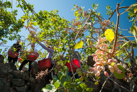 Closeup view of a pistachio bunch on tree and pickers at work in the background, Bronte, Sicily