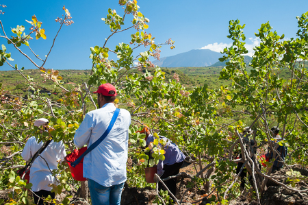 grooves: Pistachio pickers at work with his red pail during harvest season in Bronte, Sicily, and Mount Etna in the distance