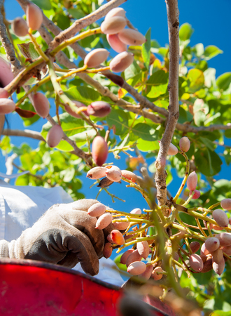 grooves: Hands of a farmer picking pistachios of Bronte,Sicily, during harvest season