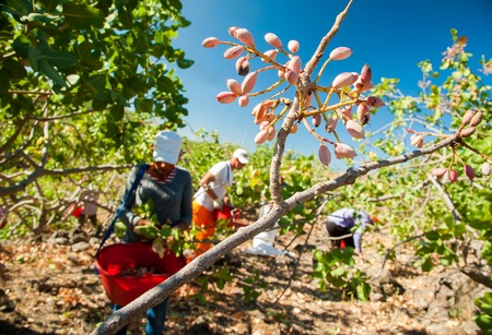 grooves: Closeup view of a pistachio bunch on tree and pickers at work in the background, Bronte, Sicily