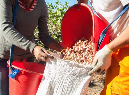 grooves: Pistachio picker unloading his red pail in a white sack during harvest season, Bronte, Sicily