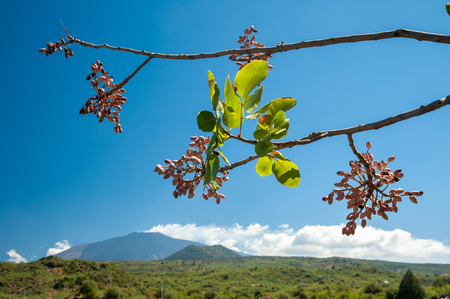 Closeup view of a pistachio bunch on tree during harvest time in Bronte, Sicily, and Mount Etna in the distance