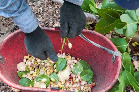 grooves: Pistachio picker at work with red pail during harvest season in Bronte, Sicily Stock Photo