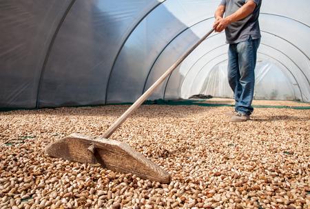 Zonne het drogen proces van pistachenoten die in een serre worden uitgespreid en periodiek worden ten val gebracht, Bronte, Sicilië Stockfoto