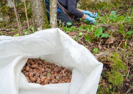 typical: Closeup view of some just picked hazelnuts in a sack Stock Photo