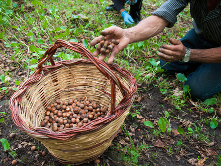 typical: Hazelnut picker at work during manual harvest time Stock Photo