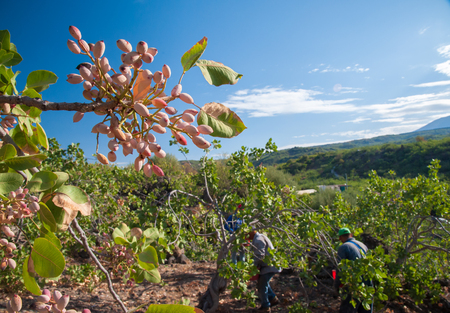 typical: Closeup view of a pistachio bunch on tree and pickers at work in the background, Bronte, Sicily