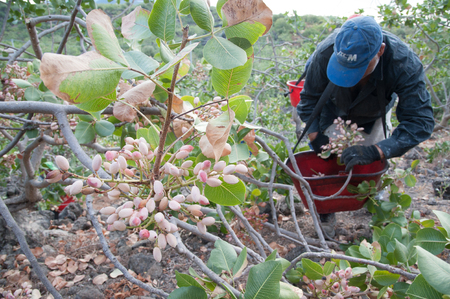 typical: Closeup view of a pistachio bunch on tree and a picker at work in the background, Bronte, Sicily
