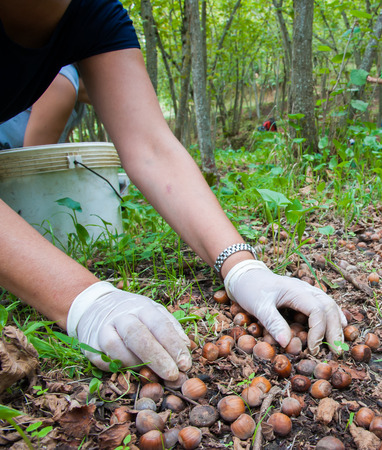 typical: Closeup view of a hazelnut pickers hand during harvest season