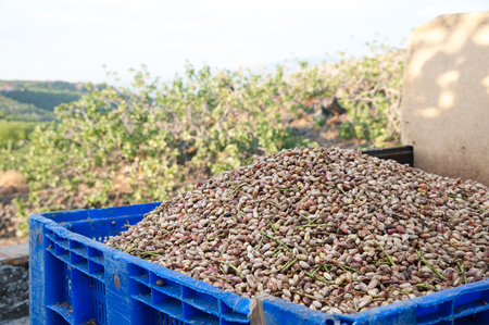 Bin full of just picked pistachios after the hulling process