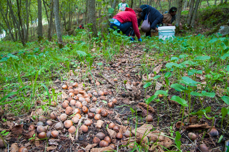 typical: Closeup view of some hazelnuts on the ground and pickers in the background