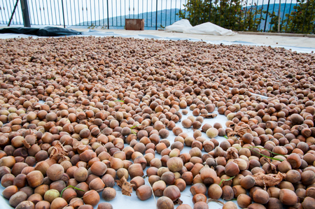 typical: Solar drying process for just picked hazelnuts Stock Photo