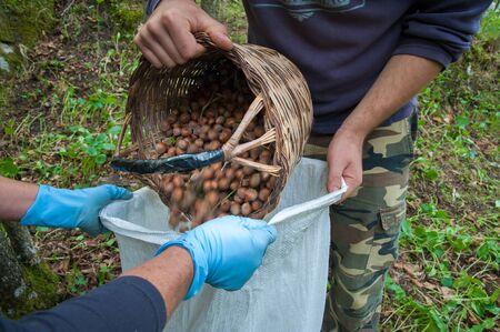 Hazelnut picker unloading his wicker basketl in a white sack during harvest season