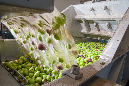 The process of olive washing and defoliation in the chain production of a modern oil mill Stockfoto
