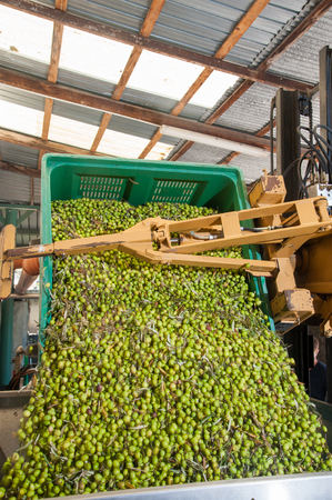 A bin forklift loading a large metal funnel with olive for the beginning of milling process