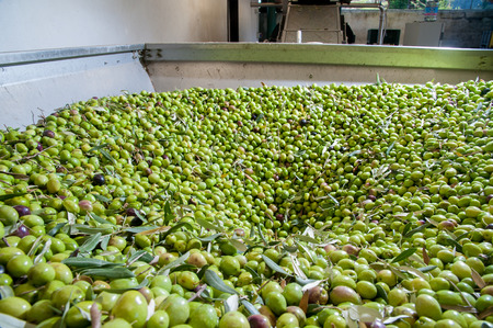 Beginning phase of olive oil production: olives being loaded in a big metal funnel