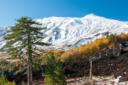 Pine tree on the northern side of Mount Etna and the snowy peak