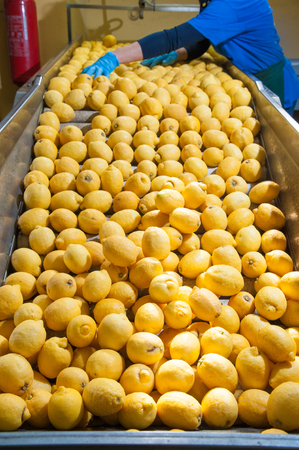 Yellow lemons of the variety Femminello Siracusano being loaded in a conveyor belt for the initial phase of their working cycle Stock Photo