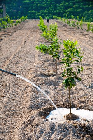 Young orange trees in a citrus grove being watered Reklamní fotografie