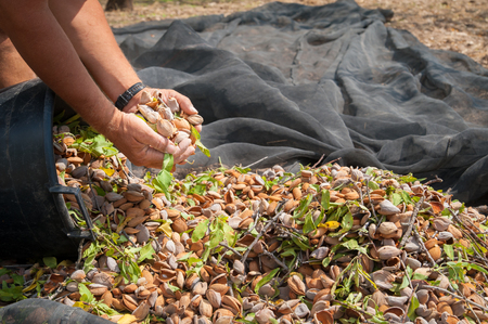 A farmer holding a handful of just picked almonds during harvest season