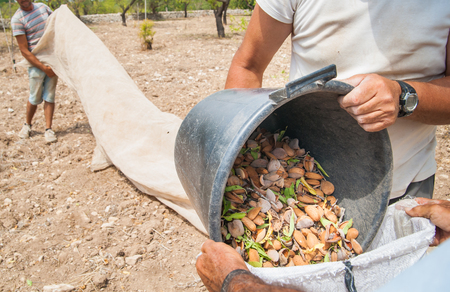 Farmers at work unloading a pail full of just picked almonds in a bigger sack during harvest time, Noto, Sicily Stock Photo