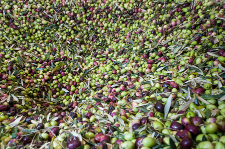 Haap of just picked olives