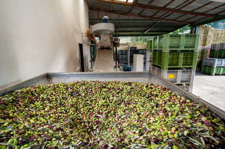 Beginning phase of olive oil production: olives being loaded in a large metal funnel