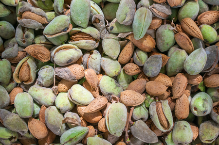 Close-up view of some just picked almonds of the variety called Romana