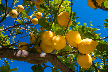 Lemons on tree in a citrus grove during harvest time in Sicily Banco de Imagens