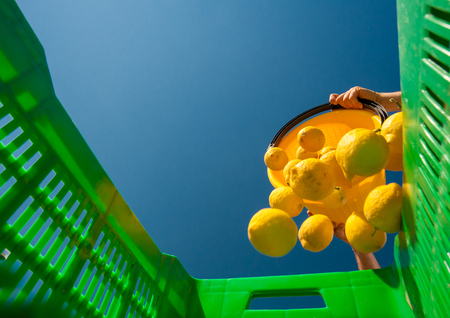 Bottom view of a picker at work unloading his pail full of lemons into a bigger green fruitbox Imagens