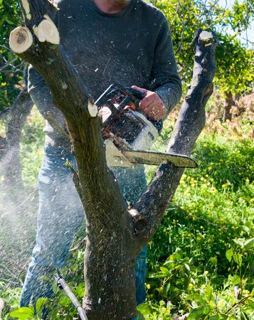 A farmer cutting an orange tree to prepare it for new graft Stockfoto