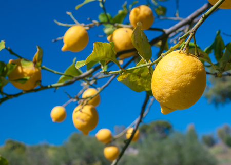 Lemons on tree in a citrus grove during harvest time in Sicily Stok Fotoğraf