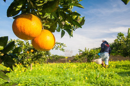 Closeup view of navel oranges on the tree of a grove during harvest time in SIcily