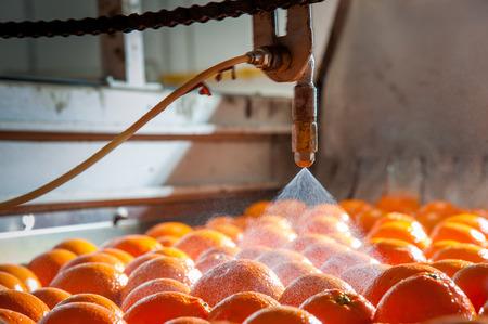 Tarocco-Orangen im Wagen während des Wachsprozesses