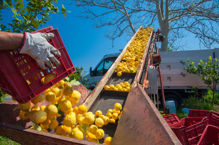 Just picked lemons being loaded into a truck during harvest time in Sicily Stok Fotoğraf