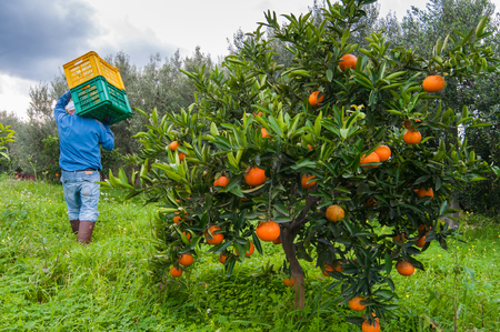 Closeup of an orange tree during harvest time in SIcily