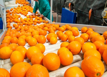 The manual selection of fruits: a worker ckecking oranges to reject the seconde-rate ones