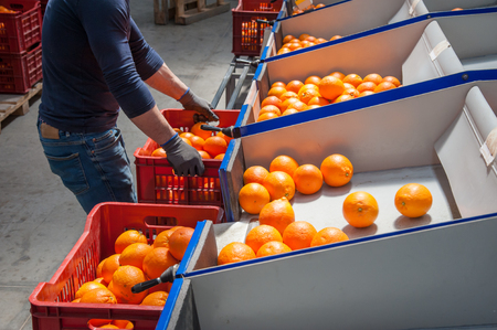 Manual packaging of tarocco fruits after the calibrating process in an industrial store