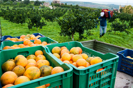 Colored fruit boxes full of navel oranges in an citrus grove during harvest season in Sicily Stok Fotoğraf