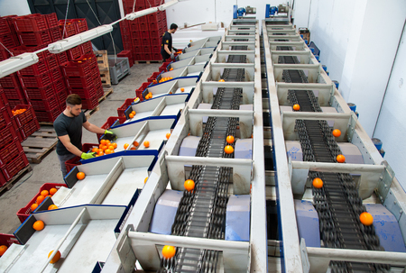 Sicilian tarocco oranges during the calibration process in a modern production line, Francofonte, Sicily, April 19 2019
