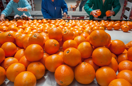 Farmers manually selecting just worked tarocco oranges for the packaging phase