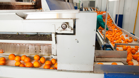 Just waxed tarocco oranges in the carriage for the manual selection in a modern factory