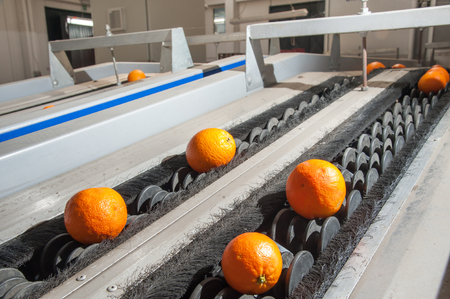 Sicilian tarocco oranges during the calibration process in a modern production line