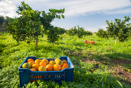 Fruit box full of oranges during harvest season in Sicily Stok Fotoğraf
