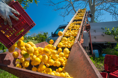 Just picked lemons being loaded into a truck during harvest time in Sicily Stock fotó
