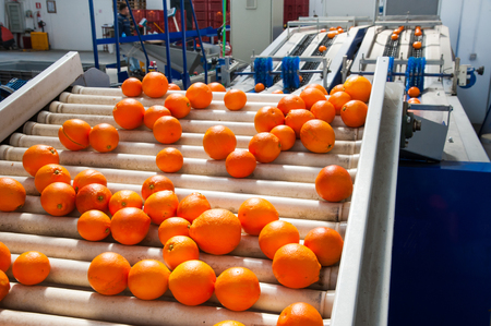 Just selected and waxed tarocco oranges in the conveyor belt ready to be calibrated