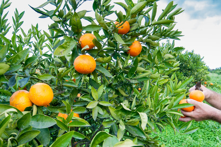 Closeup view of oranges on the tree of a grove during harvest time in SIcily Stok Fotoğraf