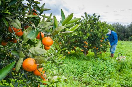 Detailansicht von Orangen auf dem Baum eines Hains während der Erntezeit in Sizilien