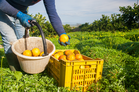 Picker at work during orange harvest time in Sicily Stok Fotoğraf